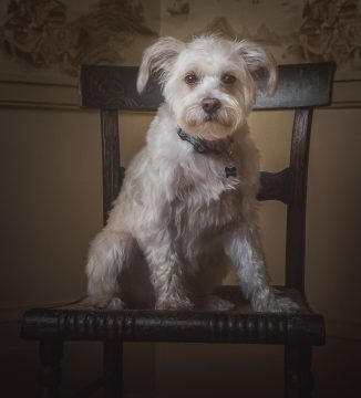 Alana Lee Photography: portrait of a cute white dog