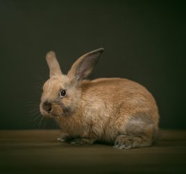 Bunny rabbit studio photo by Port Hope and Cobourg pet photographer Alana Lee