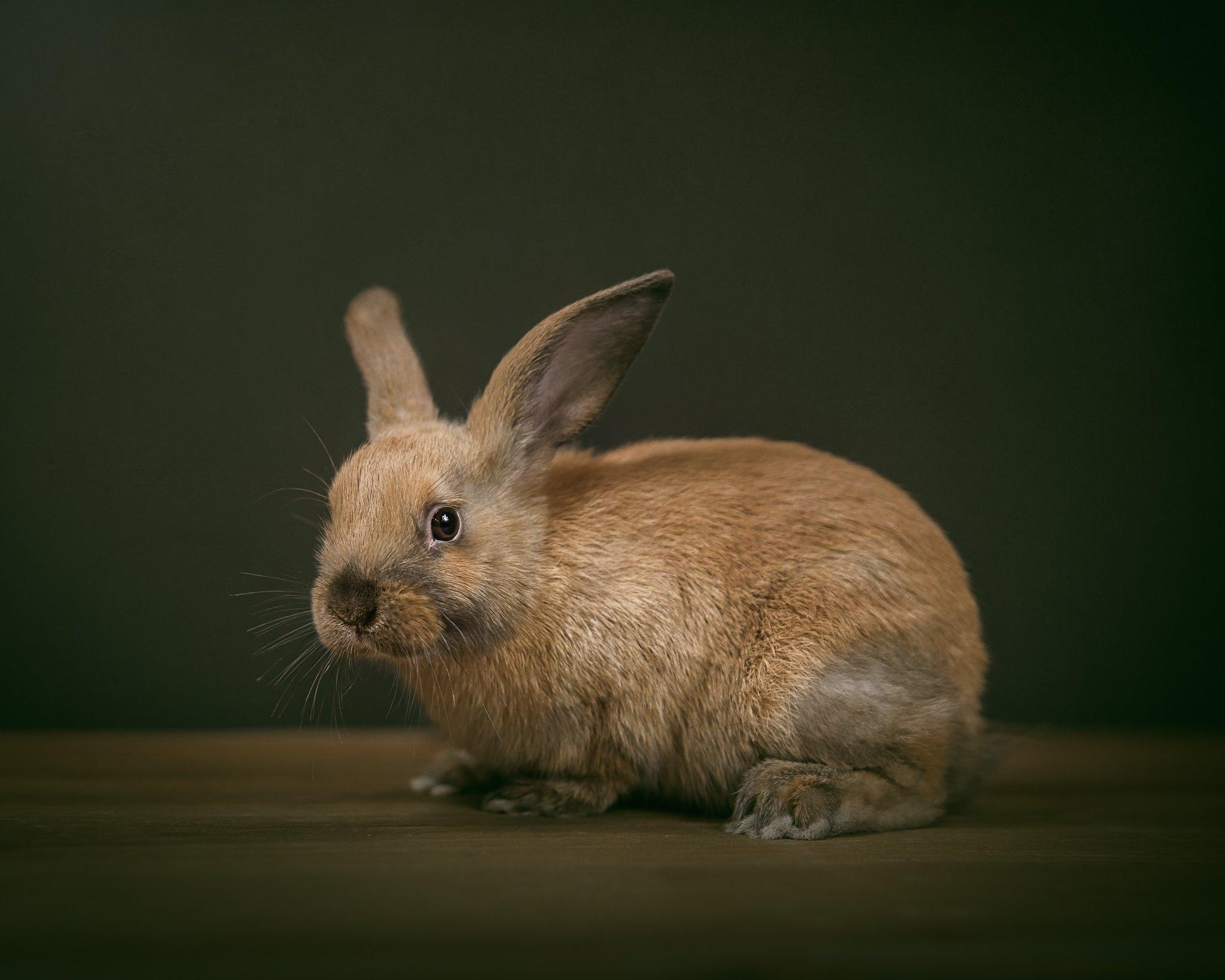 Alana Lee Photography: Bunny rabbit studio photo by Port Hope and Cobourg pet photographer Alana Lee