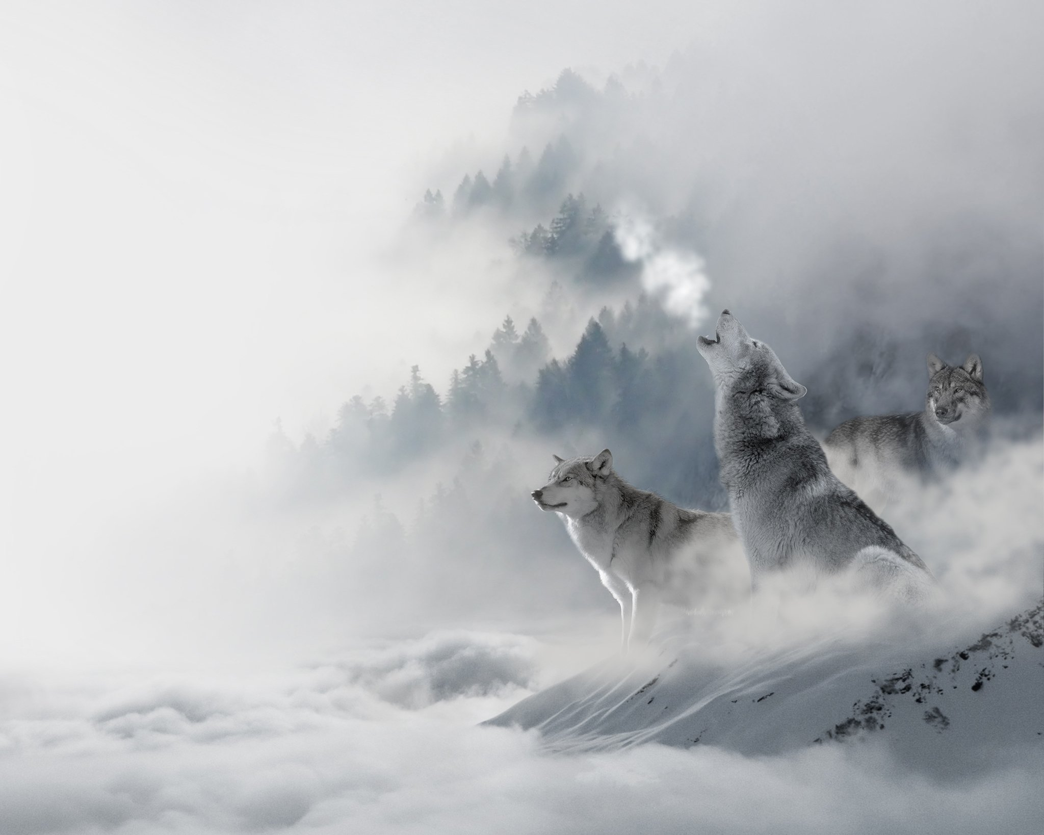 Alana Lee Photography: wolves before adding a sky overlay in photoshop