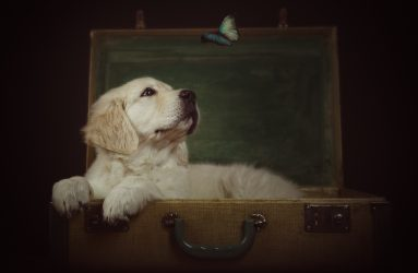 portrait photography of golden retriever puppy in suitcase with blue butterfly