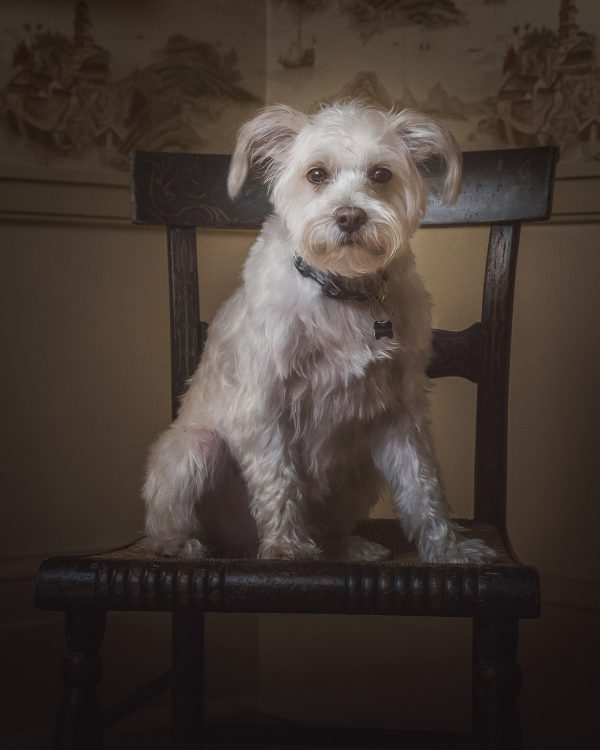 alana lee photography pet portrait of white dog sitting on chair
